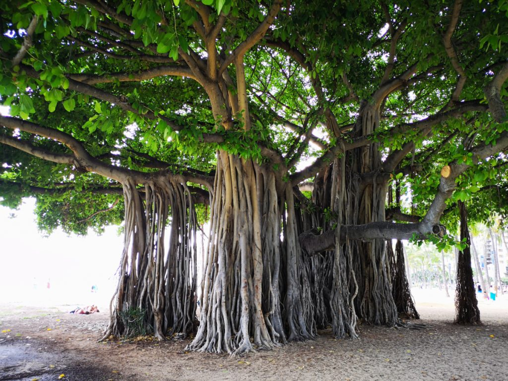 Beautiful tree in Honolulu