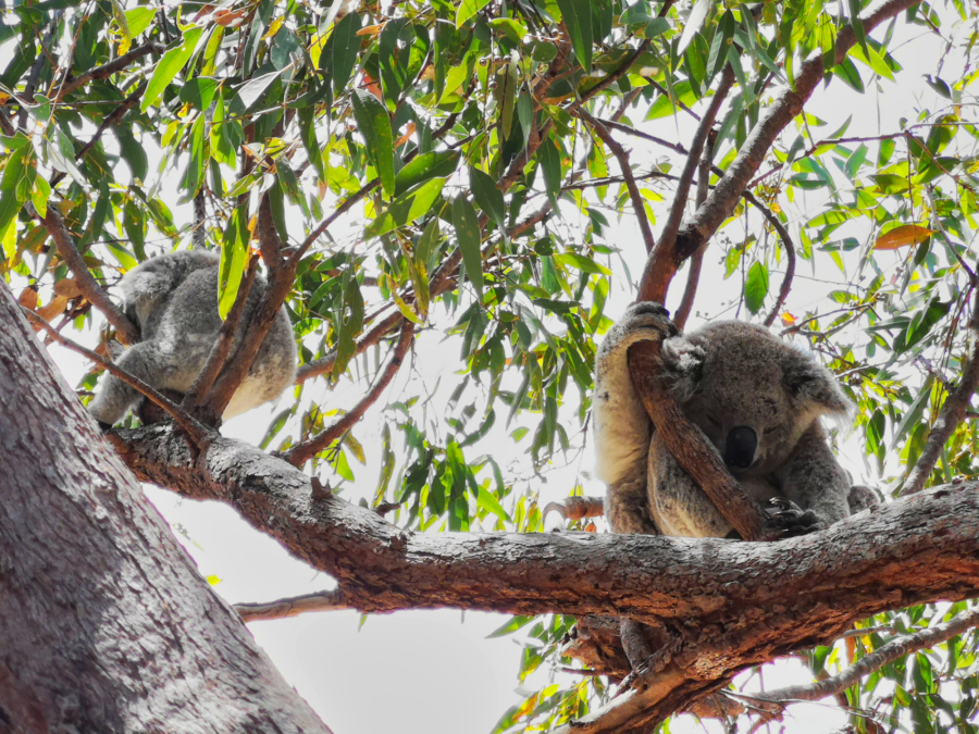 If you're lucky you'll see koalas on your east coast Australia road trip